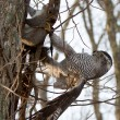 goshawk with squirrel
