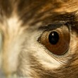 red tailed hawk eye